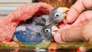 Comment-nourrir-un-inseparable-a-la-main-00