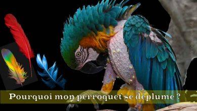 Pourquoi-mon-perroquet-se-déplume-FB