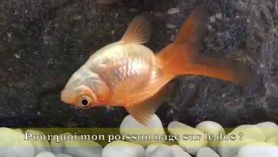Pourquoi-mon-poisson-nage-sur-le-dos-00
