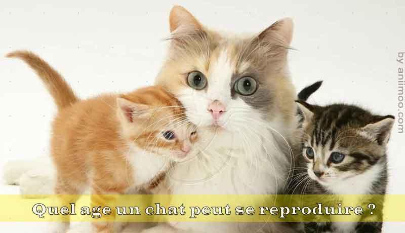 A quel âge les chats peuvent se reproduire? - Aniimoo