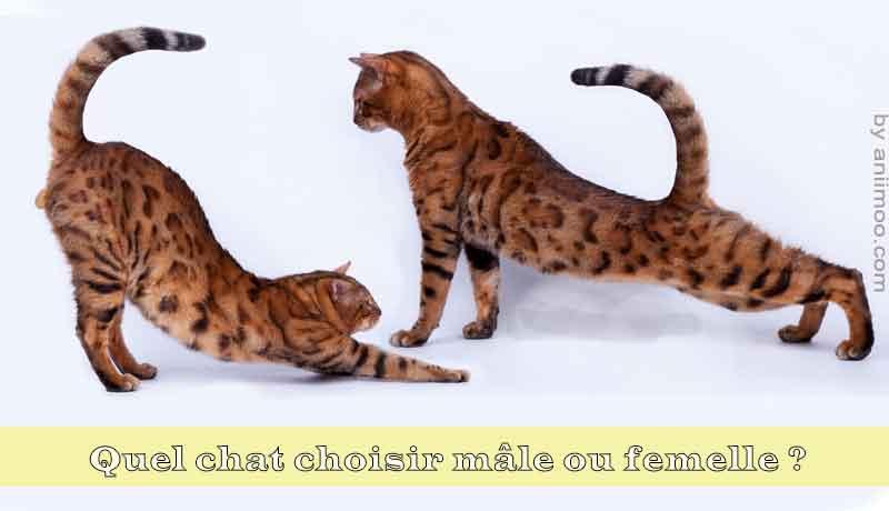 Quel-chat-choisir-mâle-ou-femelle-00