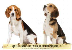 Quel-chien-de-chasse-choisir-02-foxhounds-Labrador-retriever
