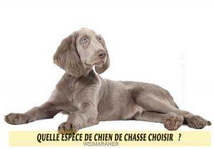 Quel-chien-de-chasse-choisir-06-WEIMARANER
