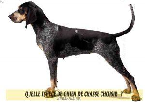 Quel-chien-de-chasse-choisir-07-COONHOUND-À-POIL-BLEU