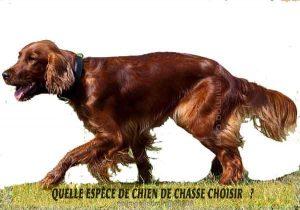 Quel-chien-de-chasse-choisir-08-CHASSEUR-IRLANDAIS