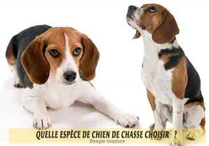 Quel-chien-de-chasse-choisir-13-Beagle-tricolore