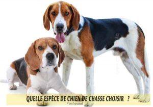 Quel-chien-de-chasse-choisir-16-Foxhound