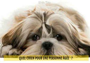Quel-chien-pour-une-personne-âgée-02-Shih-Tzu