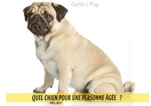 Quel-chien-pour-une-personne-âgée-03-Carlin---Pug