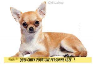 Quel-chien-pour-une-personne-âgée-04-Chihuahua