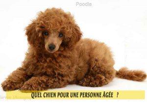 Quel-chien-pour-une-personne-âgée-05-Poodle