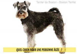 Quel-chien-pour-une-personne-âgée-07-Terrier-de-Boston---Boston-Terrier
