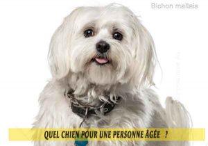 Quel-chien-pour-une-personne-âgée-09-Bichon-maltais