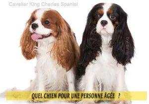 Quel-chien-pour-une-personne-âgée-10-Cavalier-King-Charles-Spaniel