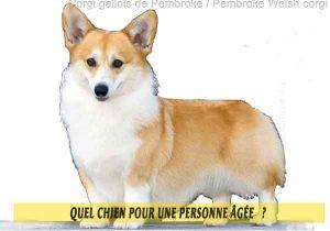 Quel-chien-pour-une-personne-âgée-12-Corgi-gallois-de-Pembroke---Pembroke-Welsh-corgi