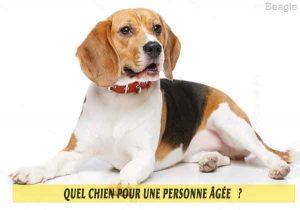 Quel-chien-pour-une-personne-âgée-13-Beagle