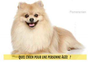 Quel-chien-pour-une-personne-âgée-14-Pomeranian