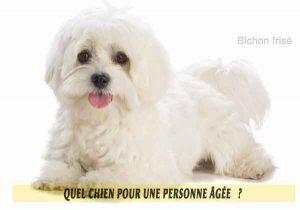Quel-chien-pour-une-personne-âgée-16-Bichon-frisé