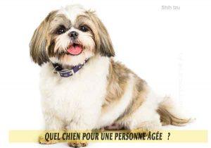 Quel-chien-pour-une-personne-âgée-18-Shih-tzu