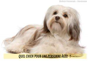 Quel-chien-pour-une-personne-âgée-19-Bichon-Havanais---Havanese