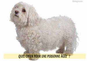 Quel-chien-pour-une-personne-âgée-21-Bolognese