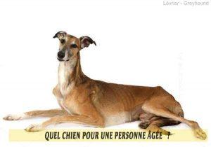 Quel-chien-pour-une-personne-âgée-22-Lévrier---Greyhound