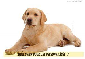 Quel-chien-pour-une-personne-âgée-23-Labrador-retriever