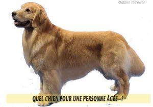 Quel-chien-pour-une-personne-âgée-24-Golden-retriever