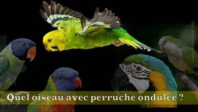 Quel-oiseau-avec-perruche-ondulée-00