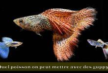 Quel-poisson-on-peut-mettre-avec-des-guppy-00