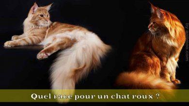Quel-race-pour-un-chat-roux-00