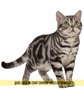 Quel-sexe-de-chat-choisir-mâle-ou-femelle-American-Shorthair