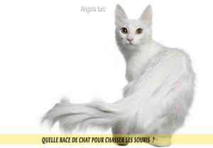 Quelle-race-de-chat-pour-chasser-lessouries-Angora-turc-04