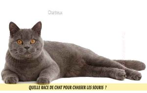 Quelle-race-de-chat-pour-chasser-lessouries-Chartreux-08