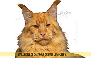 Quelle-race-de-chat-pour-chasser-lessouries-Maine-Coon-11