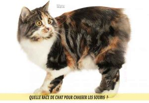 Quelle-race-de-chat-pour-chasser-lessouries-Manx-05
