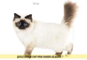Quelle-race-de-chat-pour-chasser-lessouries-Manx-06