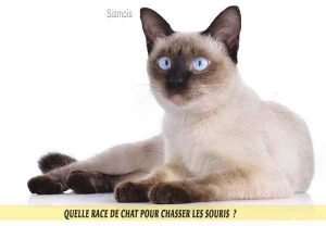 Quelle-race-de-chat-pour-chasser-lessouries-Manx-07