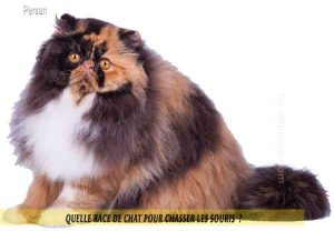 Quelle-race-de-chat-pour-chasser-lessouries-Persan-02