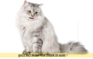 Quelle-race-de-chat-pour-chasser-lessouries-Sibérien-09