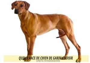 Quelle-race-de-chien-de-garde-choisir--01-CRÊTE-RHODÉSIENNE