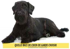 Quelle-race-de-chien-de-garde-choisir-05-SCHNAUZER-GÉANT