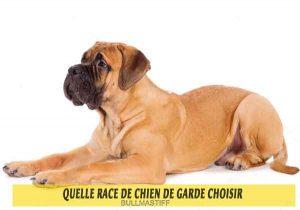 Quelle-race-de-chien-de-garde-choisir-06-BULLMASTIFF