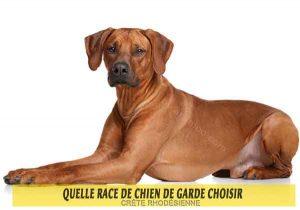 Quelle-race-de-chien-de-garde-choisir--07-CRÊTE-RHODÉSIENNE