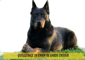 Quelle-race-de-chien-de-garde-choisir--08-BEAUCERON