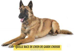 Quelle-race-de-chien-de-garde-choisir--09-MALINOIS-BELGE