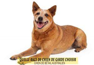 Quelle-race-de-chien-de-garde-choisir--12-CHIEN-DE-BÉTAIL-AUSTRALIEN