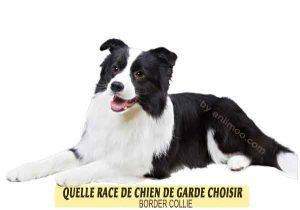 Quelle-race-de-chien-de-garde-choisir--14-BORDER-COLLIE