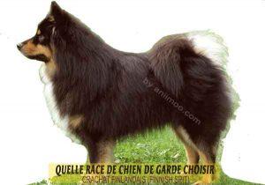 Quelle-race-de-chien-de-garde-choisir--15-CRACHAT-FINLANDAIS-(FINNISH-SPIT)