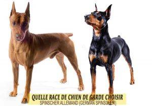 Quelle-race-de-chien-de-garde-choisir--17-SPINSCHER-ALLEMAND--GERMAN-SPINSCHER